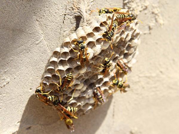 eliminare-vespe